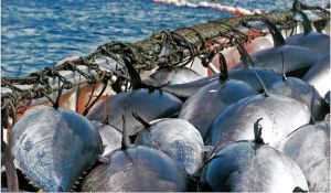 atun-almadraba-pesca-turistas_EDIIMA20130504_0162_13