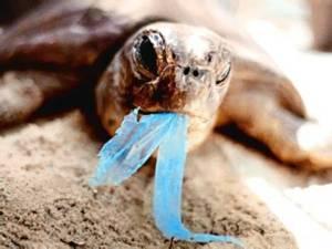 De 24 tortugas, el 71% había ingerido plásticos, otro 38% contenía monofilamentos de redes de pesca, un 4% había ingerido anzuelos y por último, una pequeña proporción de individuos habían ingerido caucho o goma y papel de aluminio.