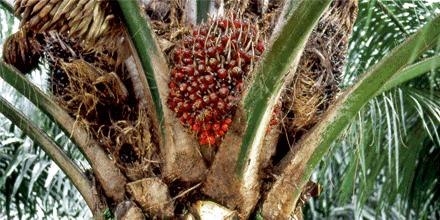 La producción del aceite de palma y sus consecuencias | La Mama Pacha