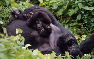 Se ha erradicado el 90% de la población de gorilas del Congo