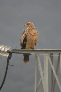 Ejemplar de águila imperial posado en un tendido eléctrico (Miguel Ferrer)