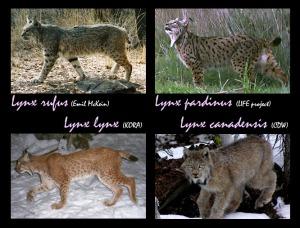 Imágenes de cuatro especies de lince diferentes