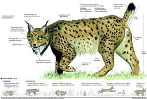 Características del lince ibérico (Lynx pardinus)