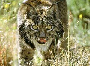 Ejemplar de lince ibérico (Lynx pardinus)