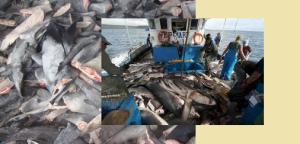 Barco con tiburones pescados ilegalmente y aletas preparadas para su venta