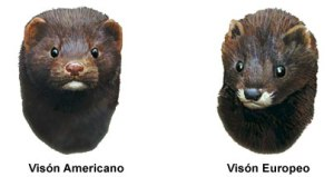 El visón americano y el europeo son muy similares pero se les puedes distinguir fácilmente  en que el visón europeo tiene tanto el labio de arriba como el de abajo blancos mientras que el visón americano sólo tiene una mancha blanca en el labio inferior