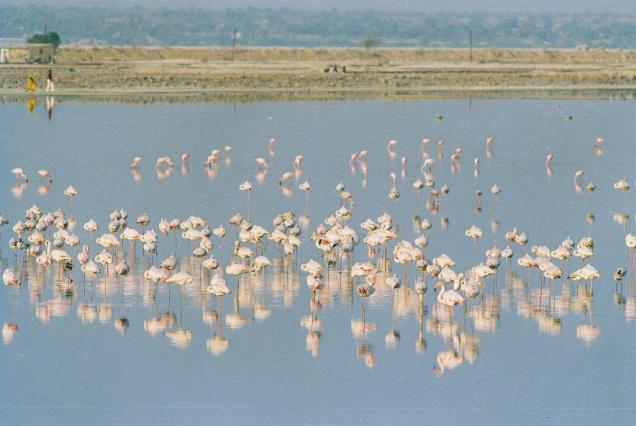 Humedales en el lago Sambhar, India