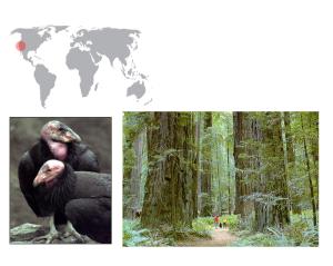 De izquierda a derecha: cóndor de California y bosque de secuoyas.