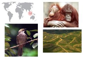 De izquierda a derecha de arriba a abajo: orangután de Sumatra, Pycnonotus zeylanicus y plantaciones de palma.