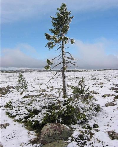 Árbol más viejo del mundo
