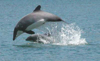Delfín chileno