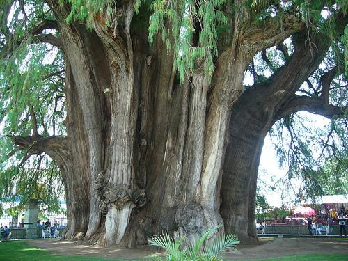 Árbol más ancho del mundo