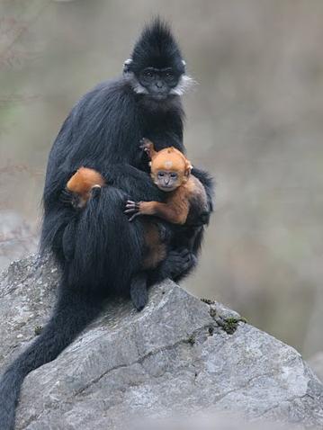 Langur cria y madre