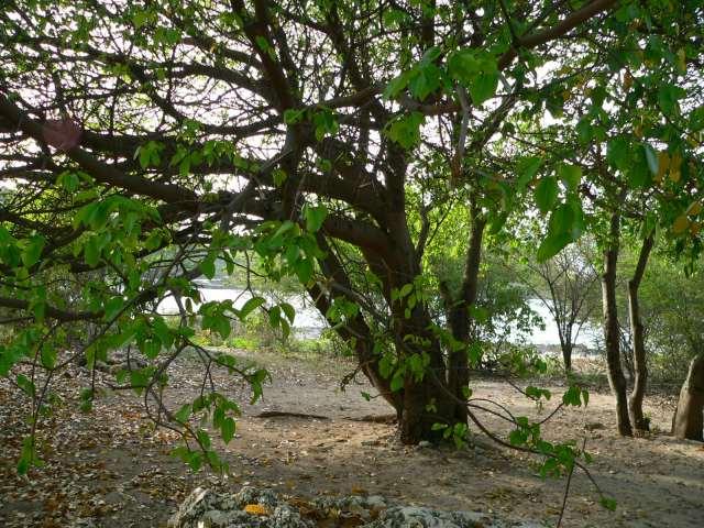El árbol más peligroso del mundo