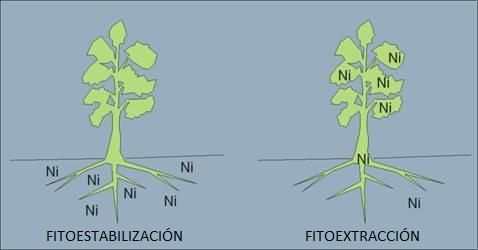 Comparación entre la fitoestabilización y la fitoextracción.
