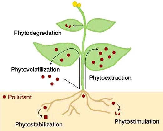 La fitorremediación plantas para tratar la contaminación ambiental