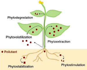 Outline of the different means available phytoremediation