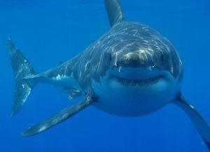 great-white-shark-sharkspictures.org_