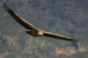 Buitre leonado volando