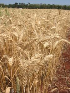 Campo de trigo, cultivo con el que se ha realizado la investigación