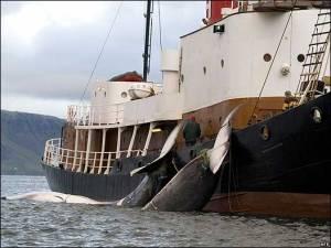 Captura de ballenas en Noruega