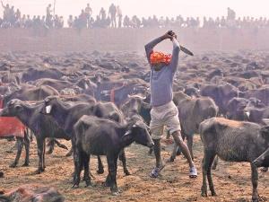 Imagen del sacrificio en honor a Gadhimai
