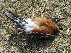 Dead bird for DDT