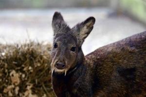 Ejemplar de una especie siberiana muy similar a la avistada en Afganistán. Los ejemplares avistados no pudieron ser fotografiados. (Fotografía de Julie Larsen Maher © WCS)