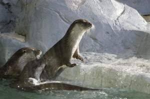 nutrias en el rio de la provincia de Guadalajara