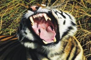 Tigre de Bengala 1