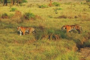 Tigres de Bengala